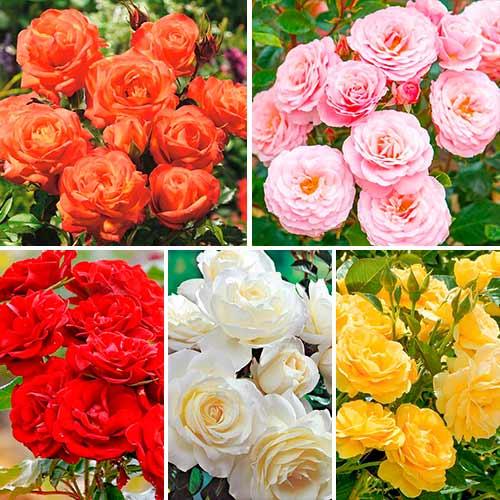 Super ofertă! Trandafiri floribunda Magic colors, set de 5 soiuri imagine 1 articol 3617