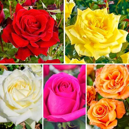 Super ofertă! Trandafiri teahibrizi Clasic Mix, set de 5 soiuri imagine 1 articol 3694