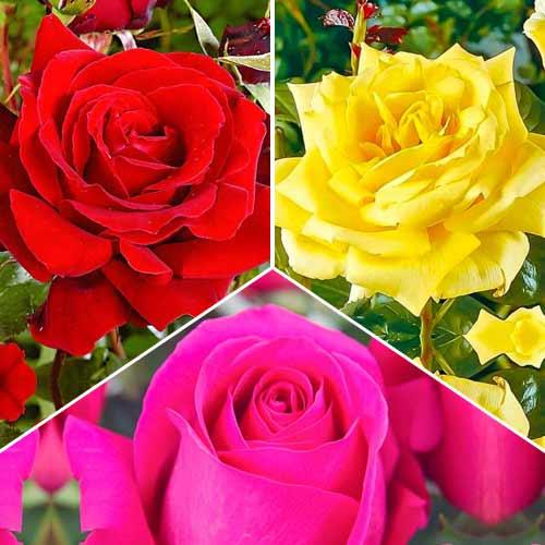 Super ofertă! Trandafiri teahibrizi Tricolor, set de 3 soiuri imagine 1 articol 3693