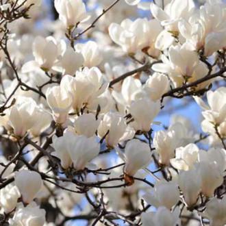 Magnolia Alba Superba imagine 1