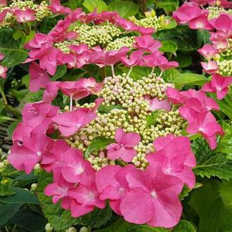 Hortensia macrophylla Fasan imagine 1
