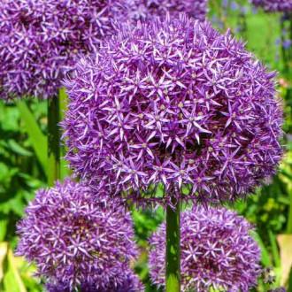 Allium Globemaster imagine 7