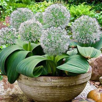 Allium Ivory Queen imagine 1