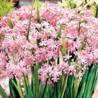 Allium Roseum imagine 1