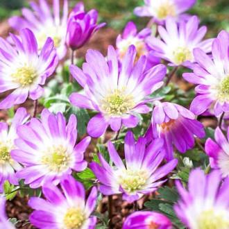 Anemone blanda Pink Star imagine 2