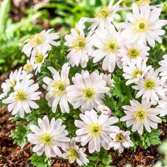 Anemone blanda White Splendour imagine 6