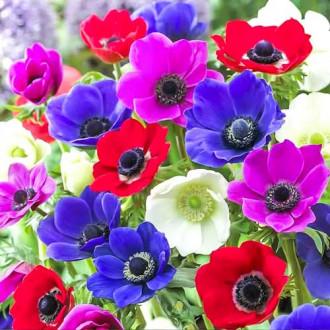 Anemone De Caen mix multicolor imagine 7