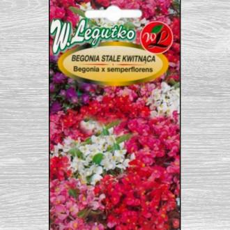 Begonie Gloria F1, mix multicolor Legutko imagine 4