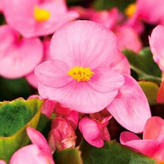 Begonie Gloria F1 roz Legutko imagine 3