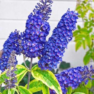 Liliac de vară Empire Blue imagine 1