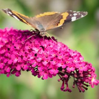 Liliac de vară Royal Red imagine 3