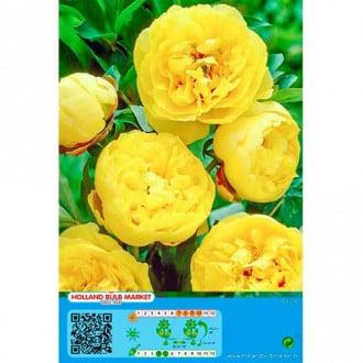 Bujor Yellow imagine 7