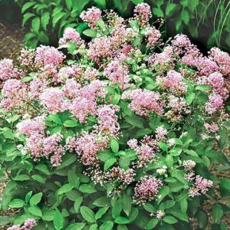 Ceanothus pallidus Perle Rose imagine 2