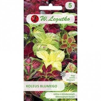 Coleus Standard, mix multicolor Legutko imagine 1