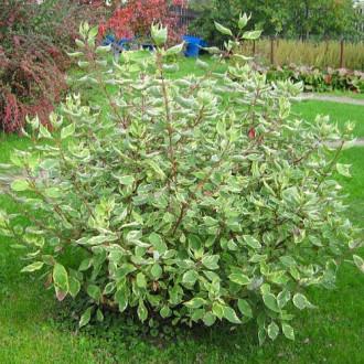 Cornus alba Elegantissima imagine 1