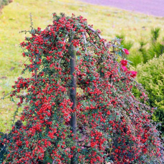 Cotoneaster Coral Beauty imagine 1