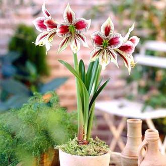 Crin de cameră (Amaryllis) Papillio imagine 8