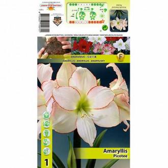 Crin de cameră (Amaryllis) Picotee imagine 8