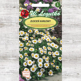 Crizantemă pitică albă Legutko imagine 5