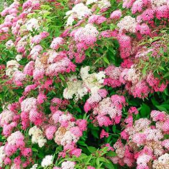 Cununiță japonica Shirobana imagine 8