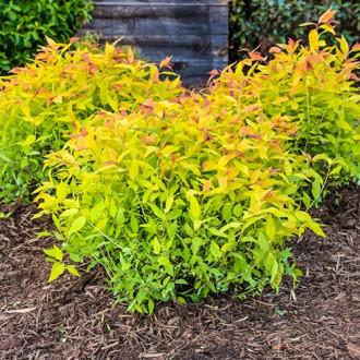 Cununiță japonica Goldflame imagine 3