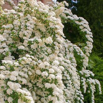 Cununiță japonica June Bride imagine 4