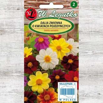 Dalie Mignon, mix multicolor Legutko imagine 1