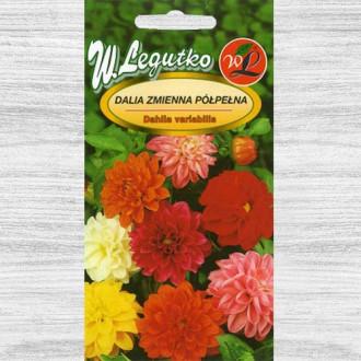 Dalie Unwins, mix multicolor Legutko imagine 3
