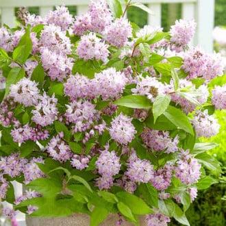 Deutzia Codsall Pink imagine 7