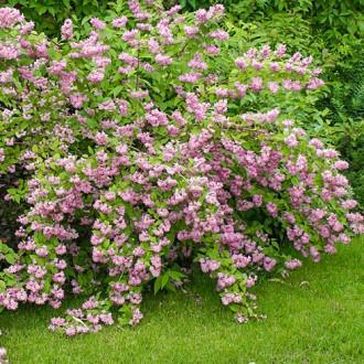 Deutzia hybrida Strawberry Fields imagine 1