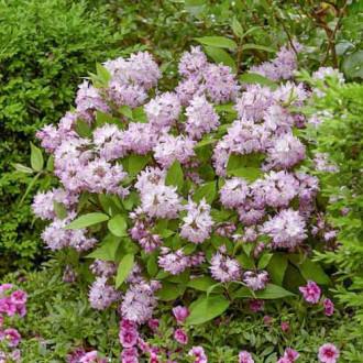 Deutzia Kalmiiflora imagine 1