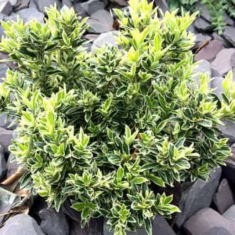 Euonymus Microphyllus imagine 5