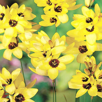 Ixia Yellow Emperor imagine 3