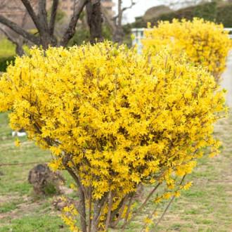 Forsythia Lynwood Gold imagine 1