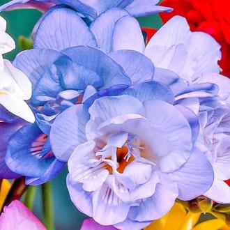 Frezie Double Blue imagine 1