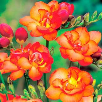 Frezie Double Orange imagine 3