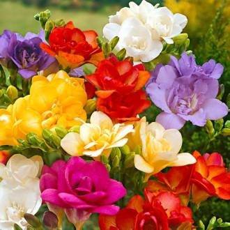 Frezie Double mix multicolor imagine 2
