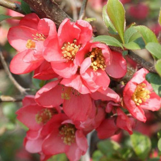 Gutui japonez Pink Trail imagine 7