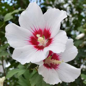 Hibiscus Shintaeyang imagine 2