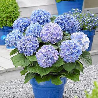 Hortensia macrophylla Blue imagine 1