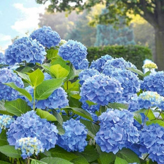 Hortensia macrophylla Blue Bodensee imagine 3
