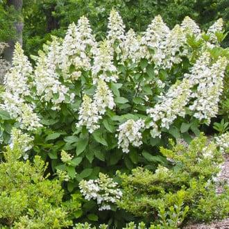 Hortensia paniculată Grandiflora imagine 6