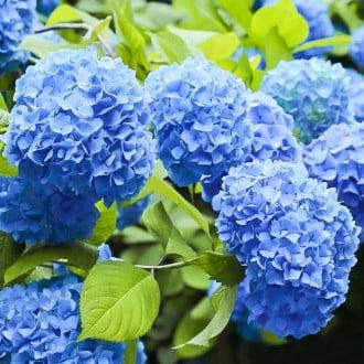 Hortensia macrophylla Nikko Blue imagine 4