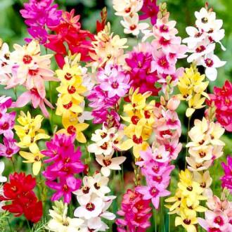 Ixia mix multicolor imagine 1