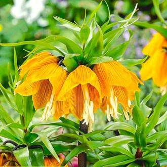 Lalea imperială (Fritillaria) Striped Beauty imagine 7