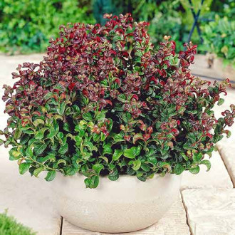 Leucothoe Curly Red imagine 1