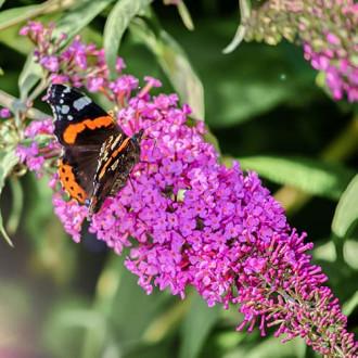Liliac de vară Purple Prince imagine 2