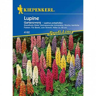 Lupin pitic de grădină Kiepenkerl imagine 5