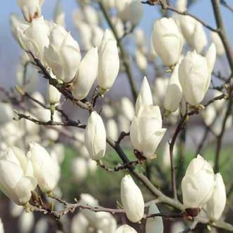 Magnolia Lennei imagine 3