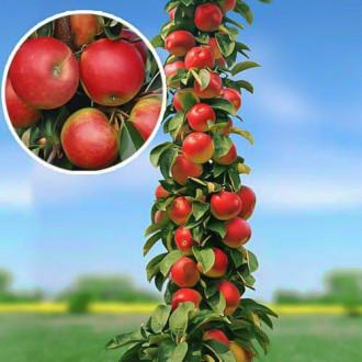 Măr columnar Arbat imagine 2